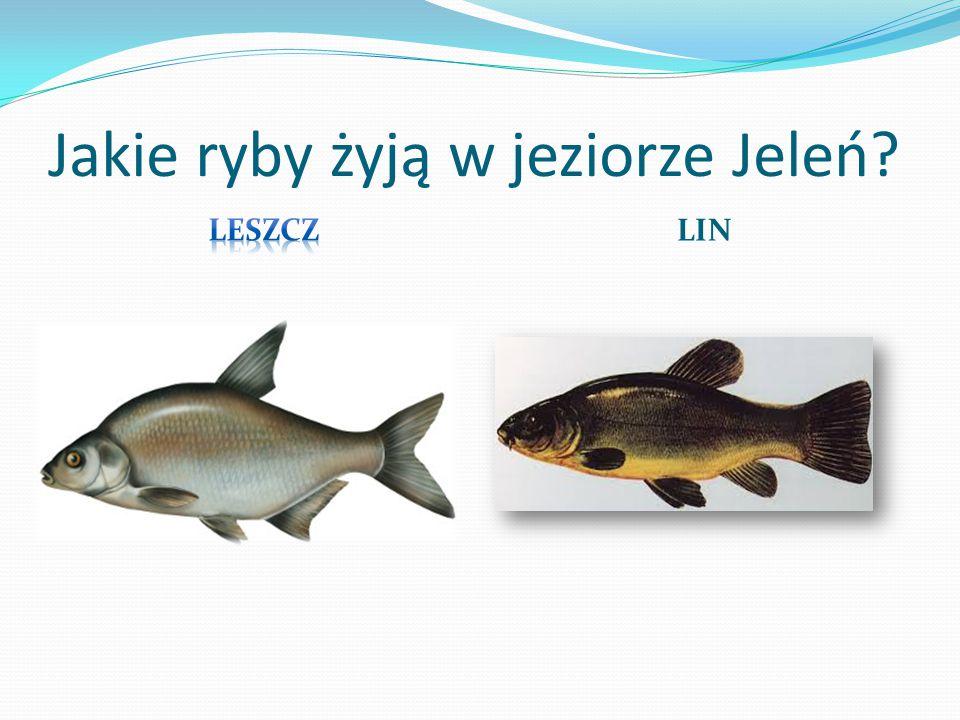 Obecnie nurkowanie na jeziorze jest zabronione, ze względu na ochronę przyrody. Jednak nie zawsze tak było - zakaz obowiązuje od 1999 r.