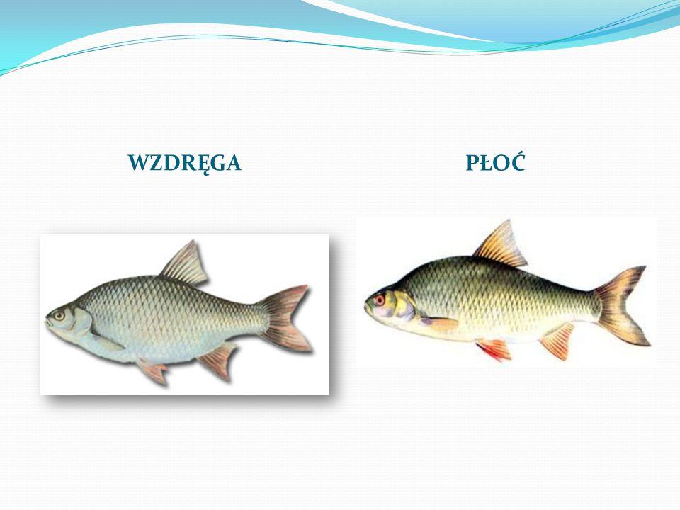 Jakie ryby żyją w jeziorze Jeleń? LIN