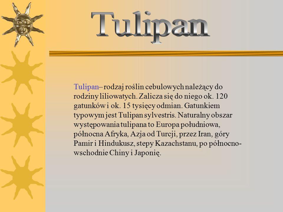 Tulipan Kaufmanna Tulipan ogrodowy Purple Tulipan ogrodowy Tulipan Klusjusza `Lady Jane`