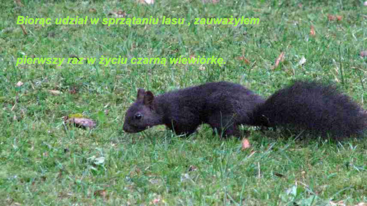 Biorąc udział w sprzątaniu lasu, zauważyłem pierwszy raz w życiu czarną wiewiórkę.