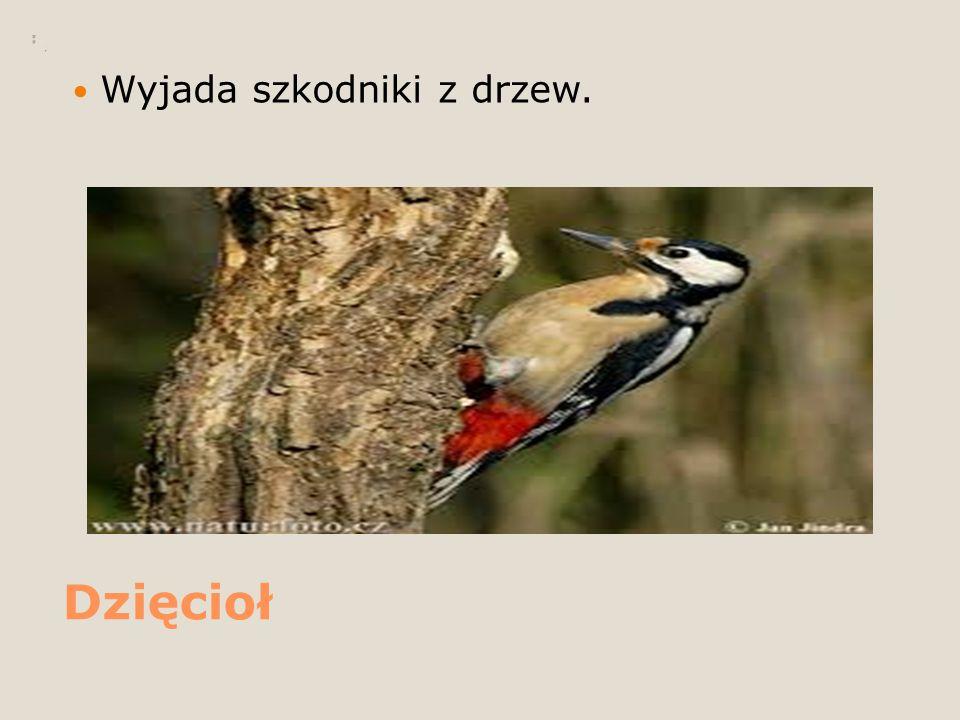 Dzięcioł Wyjada szkodniki z drzew.