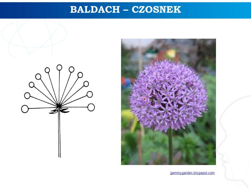 BALDACH – CZOSNEK gemmygarden.blogspot.com