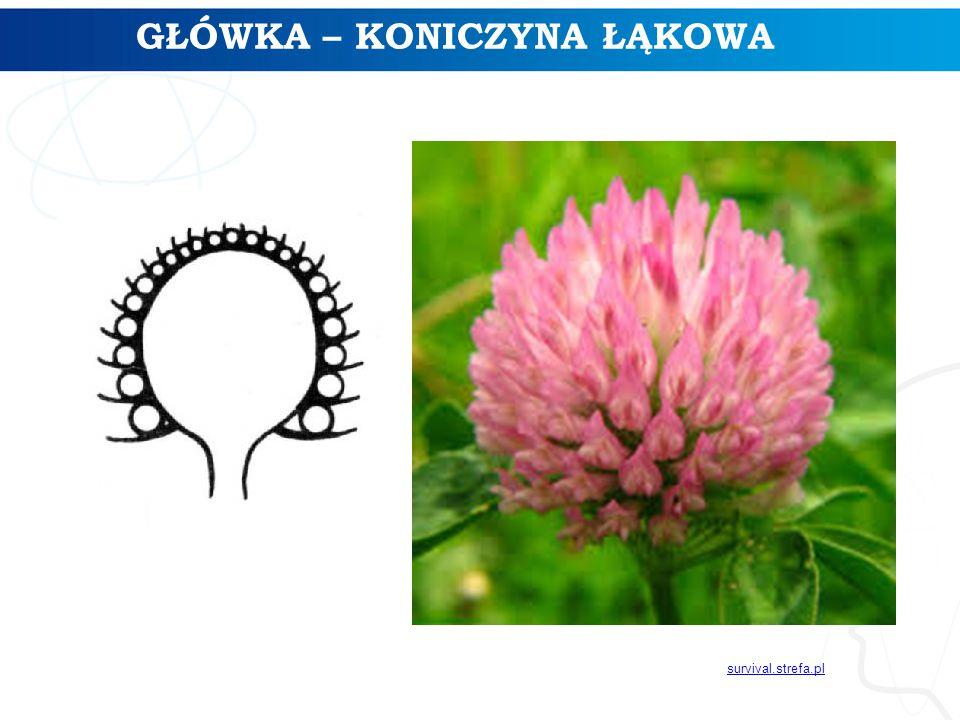 GŁÓWKA – KONICZYNA ŁĄKOWA survival.strefa.pl