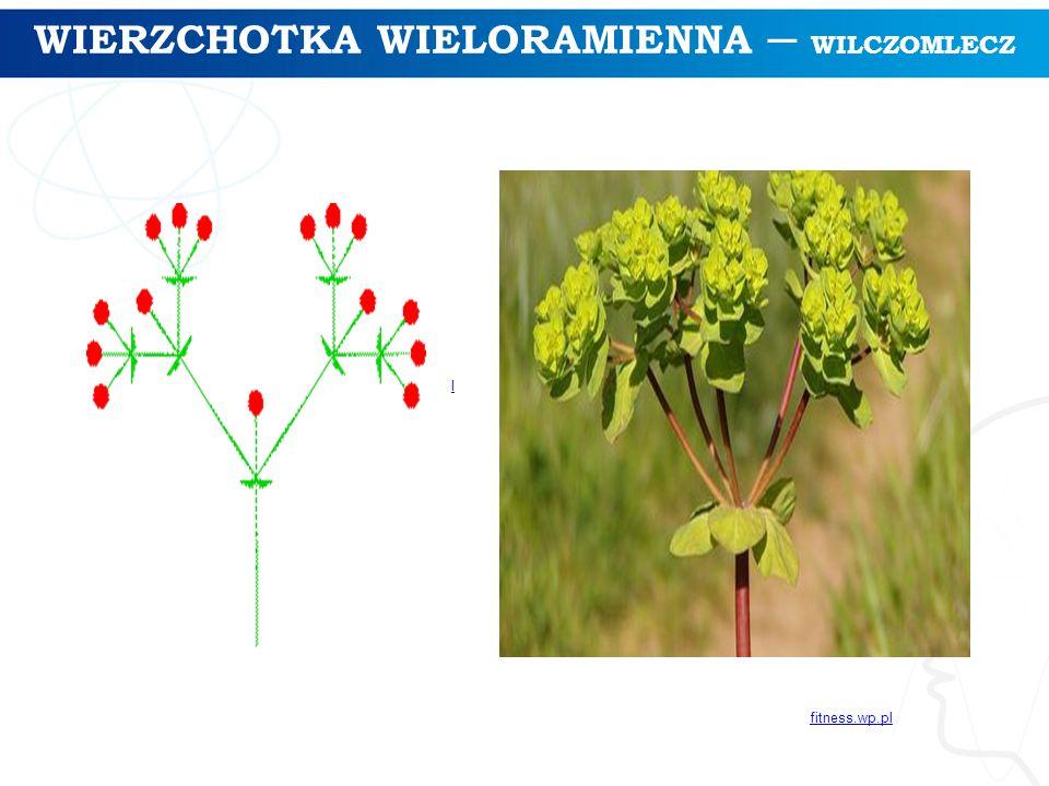 WIERZCHOTKA WIELORAMIENNA ─ WILCZOMLECZ l fitness.wp.pl