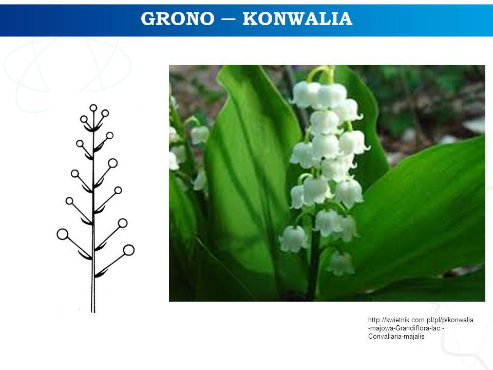 GRONO ─ KONWALIA http://kwietnik.com.pl/pl/p/konwalia -majowa-Grandiflora-lac.- Convallaria-majalis