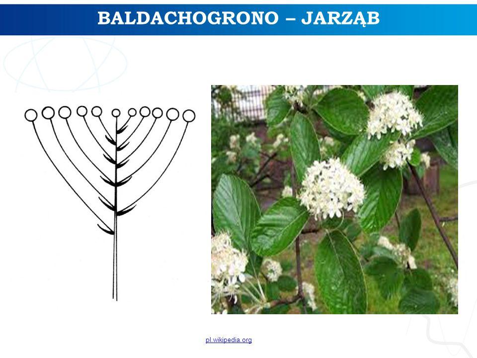 BALDACHOGRONO – JARZĄB pl.wikipedia.org