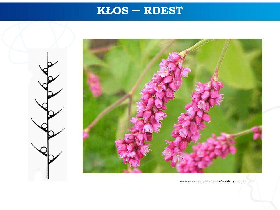 www.uwm.edu.pl/botanika/wyklady/bl5.pdf  KŁOS ─ RDEST