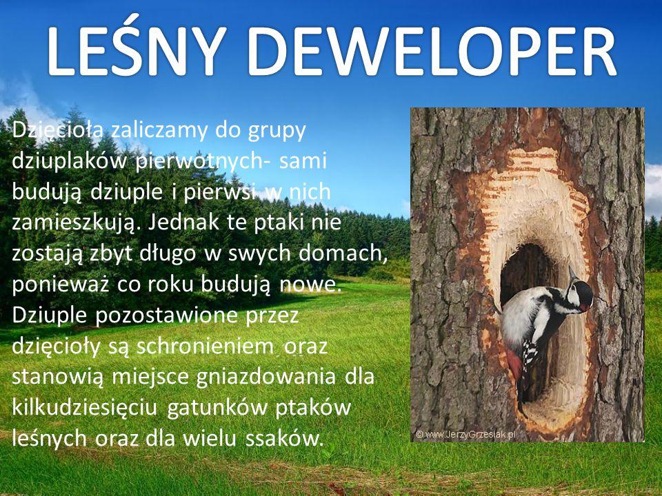 Dzięcioła zaliczamy do grupy dziuplaków pierwotnych- sami budują dziuple i pierwsi w nich zamieszkują. Jednak te ptaki nie zostają zbyt długo w swych