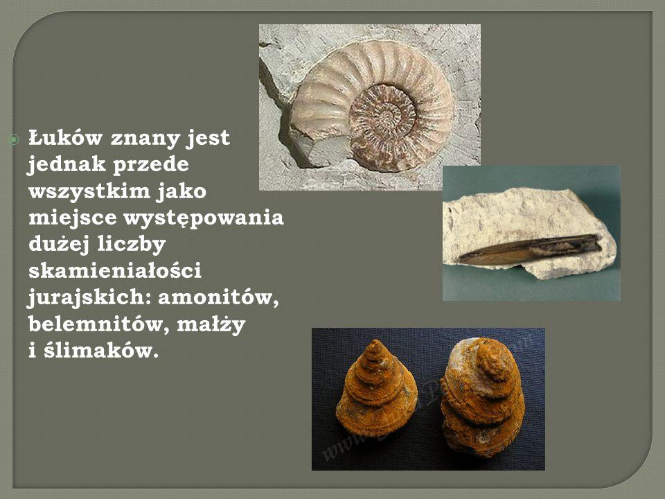  Łuków znany jest jednak przede wszystkim jako miejsce występowania dużej liczby skamieniałości jurajskich: amonitów, belemnitów, małży i ślimaków.