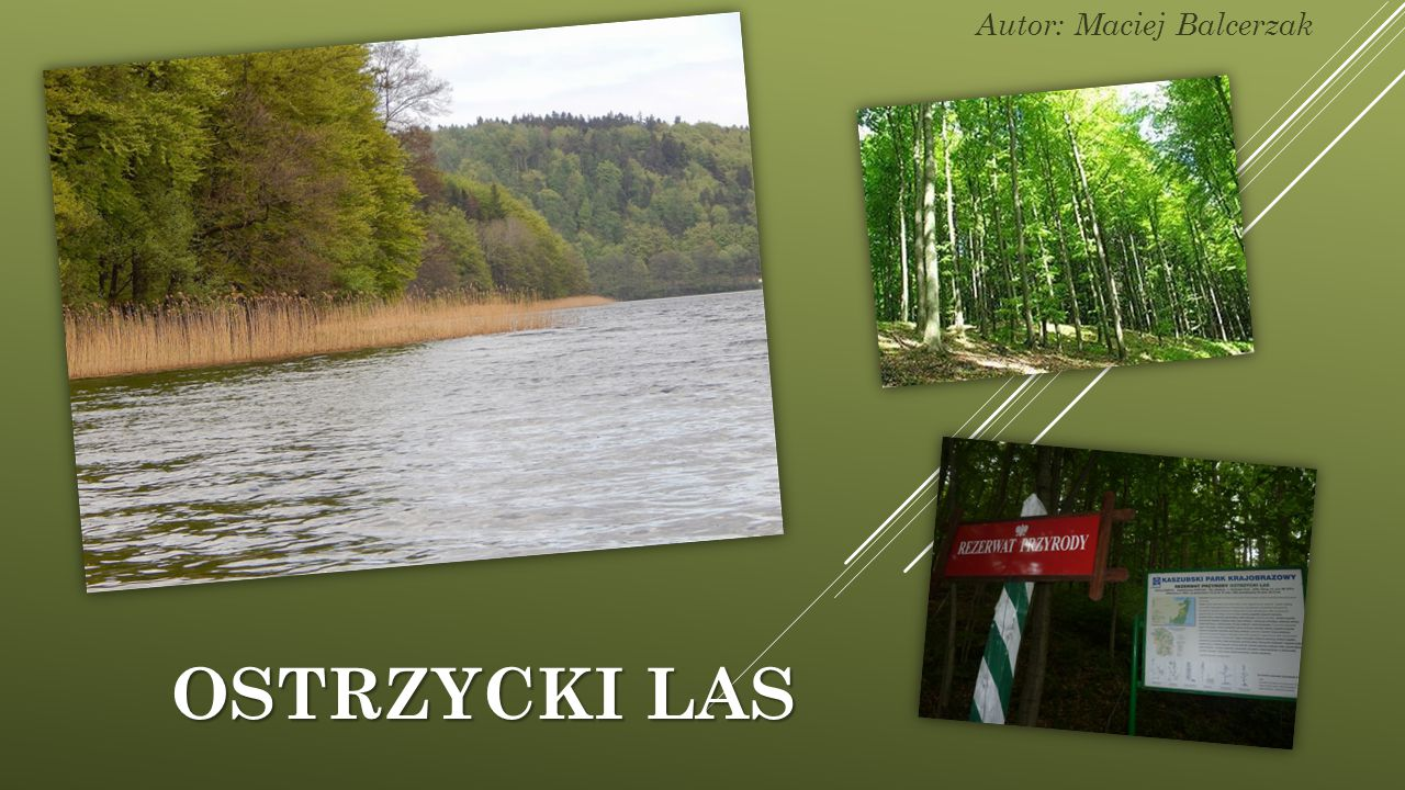 OSTRZYCKI LAS Autor: Maciej Balcerzak