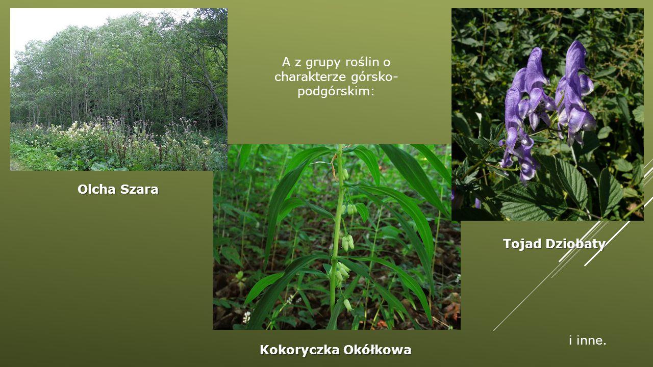 A z grupy roślin o charakterze górsko- podgórskim: Olcha Szara Tojad Dziobaty Kokoryczka Okółkowa i inne.