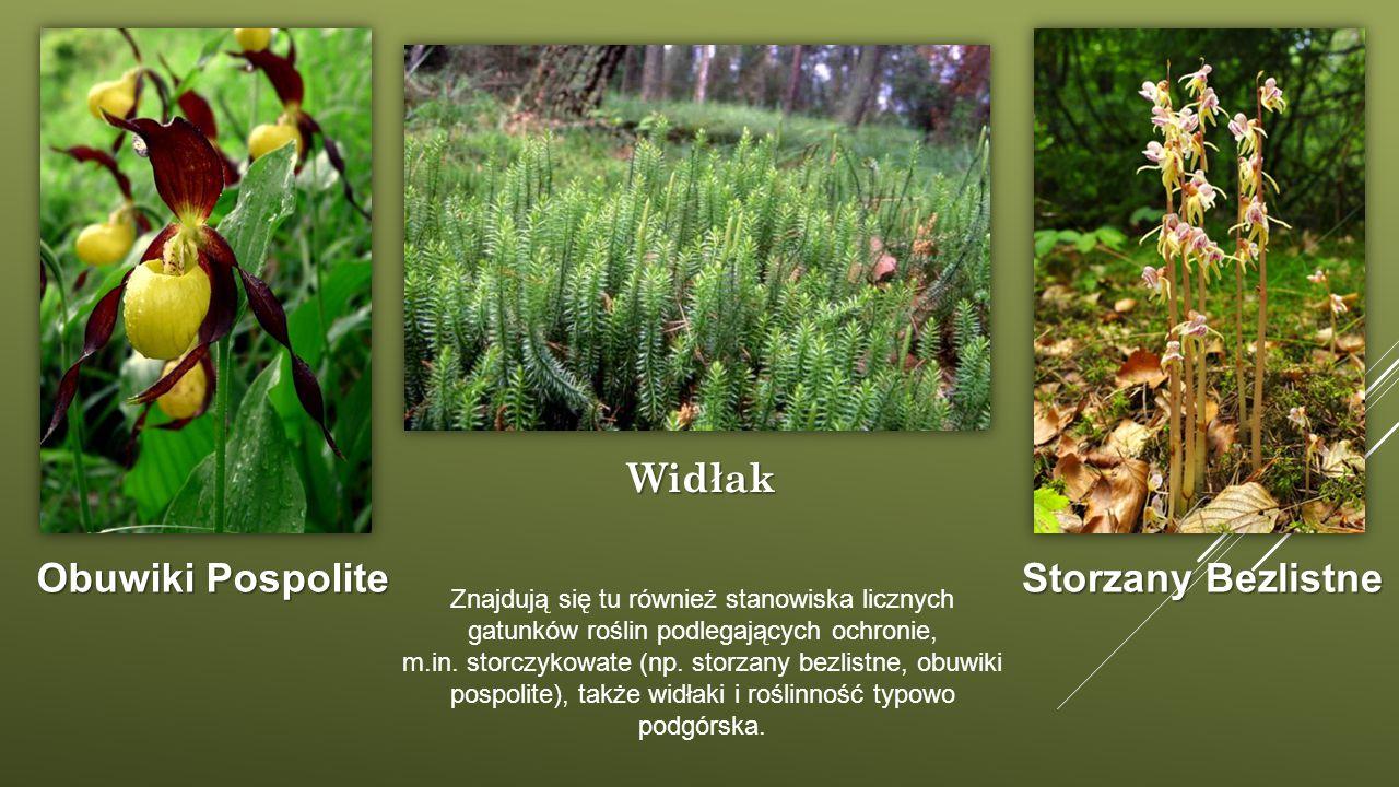 Znajdują się tu również stanowiska licznych gatunków roślin podlegających ochronie, m.in. storczykowate (np. storzany bezlistne, obuwiki pospolite), t