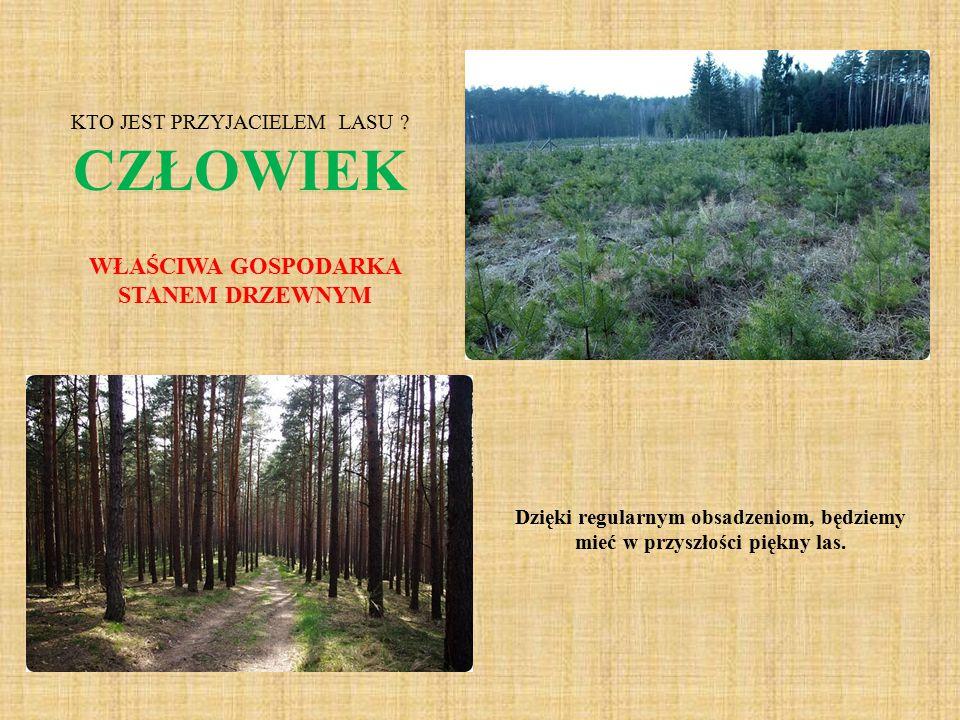 Dzięki regularnym obsadzeniom, będziemy mieć w przyszłości piękny las. KTO JEST PRZYJACIELEM LASU ? CZŁOWIEK WŁAŚCIWA GOSPODARKA STANEM DRZEWNYM
