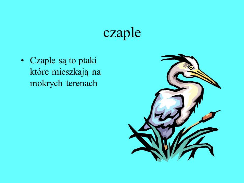 czaple Czaple są to ptaki które mieszkają na mokrych terenach