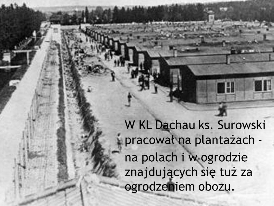 W KL Dachau ks. Surowski pracował na plantażach - na polach i w ogrodzie znajdujących się tuż za ogrodzeniem obozu.