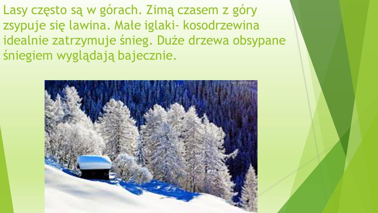 Lasy często są w górach.Zimą czasem z góry zsypuje się lawina.