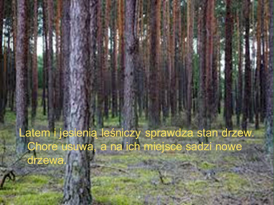 Latem i jesienią leśniczy sprawdza stan drzew. Chore usuwa, a na ich miejsce sadzi nowe drzewa.