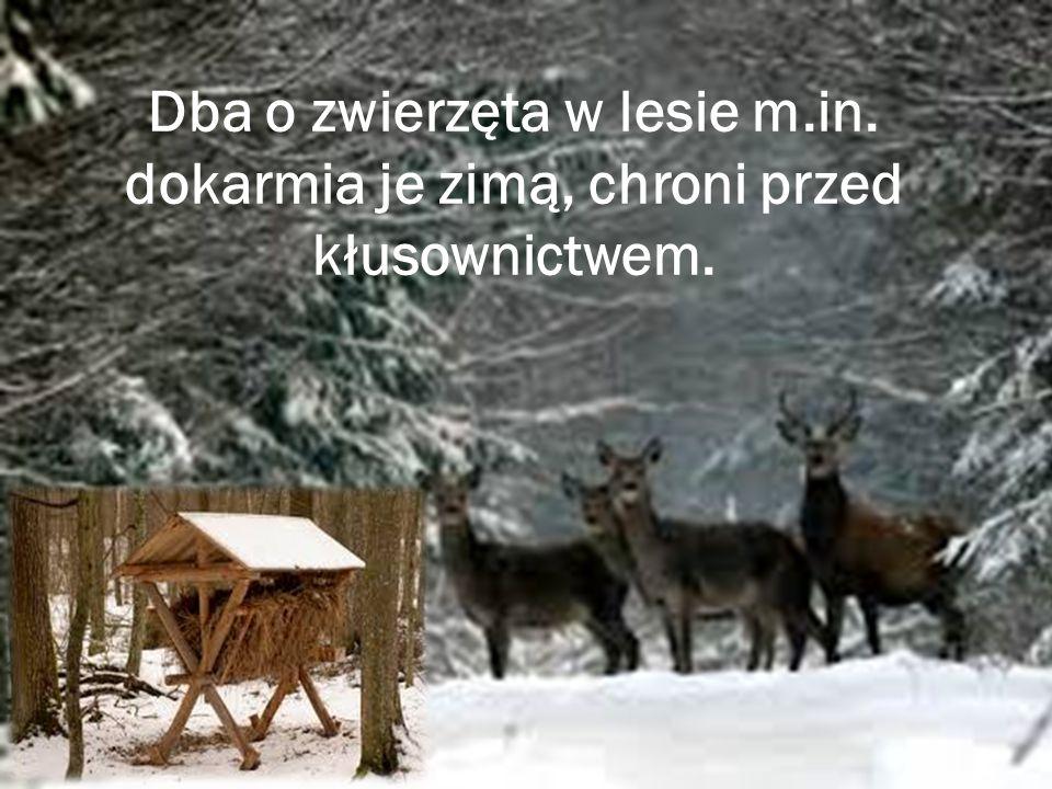 Dba o zwierzęta w lesie m.in. dokarmia je zimą, chroni przed kłusownictwem.