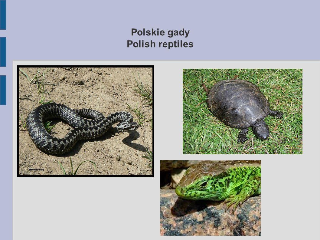 Polskie węże Polish snakes W Polsce jest pięć gatunków węży.