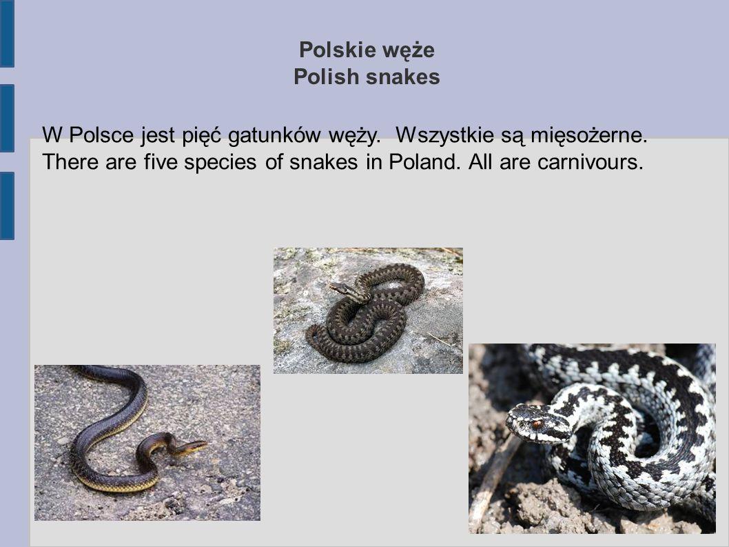 Polskie węże Polish snakes W Polsce jest pięć gatunków węży. Wszystkie są mięsożerne. There are five species of snakes in Poland. All are carnivours.
