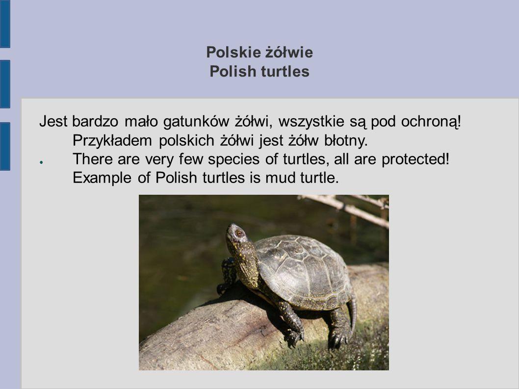 Polskie żółwie Polish turtles Jest bardzo mało gatunków żółwi, wszystkie są pod ochroną! Przykładem polskich żółwi jest żółw błotny. ● There are very
