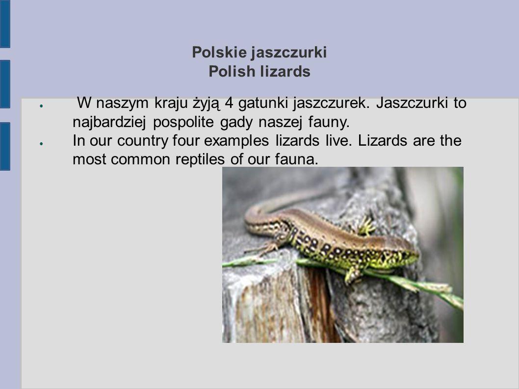 Polskie jaszczurki Polish lizards ● W naszym kraju żyją 4 gatunki jaszczurek. Jaszczurki to najbardziej pospolite gady naszej fauny. ● In our country