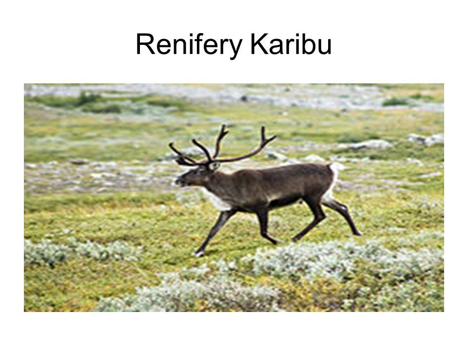 Renifery Karibu