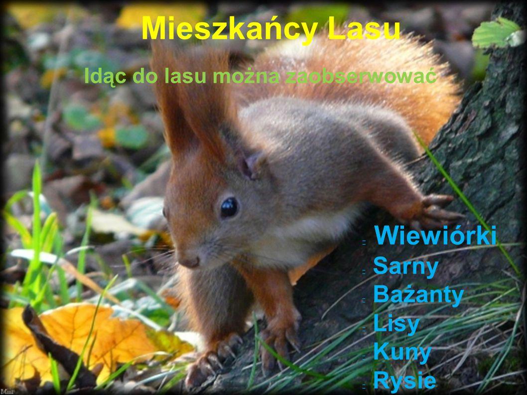 Mieszkańcy Lasu Wiewiórki Sarny Bażanty Lisy Kuny Rysie Idąc do lasu można zaobserwować