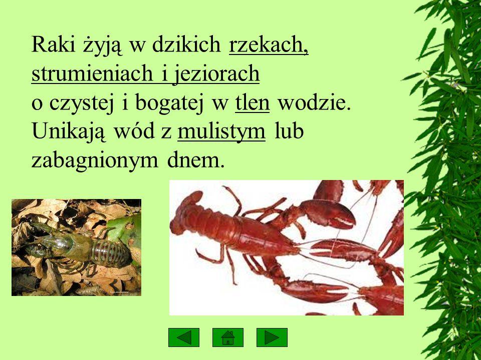 RAK Rak jest przedstawicielem skorupiaków. Jego ciało zbudowane jest z głowotułowia, odwłoka i 19 par odnóży. Pierwsze dwie pary są to czułki (spełnia