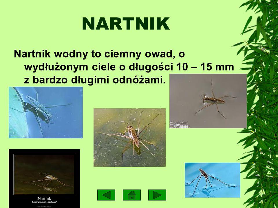 Głównie roślinność podwodna zawierająca duże ilości wapnia – moczarka, rogatek i glony. Drugie miejsce w jadłospisie zajmują drobne wodne larwy owadów