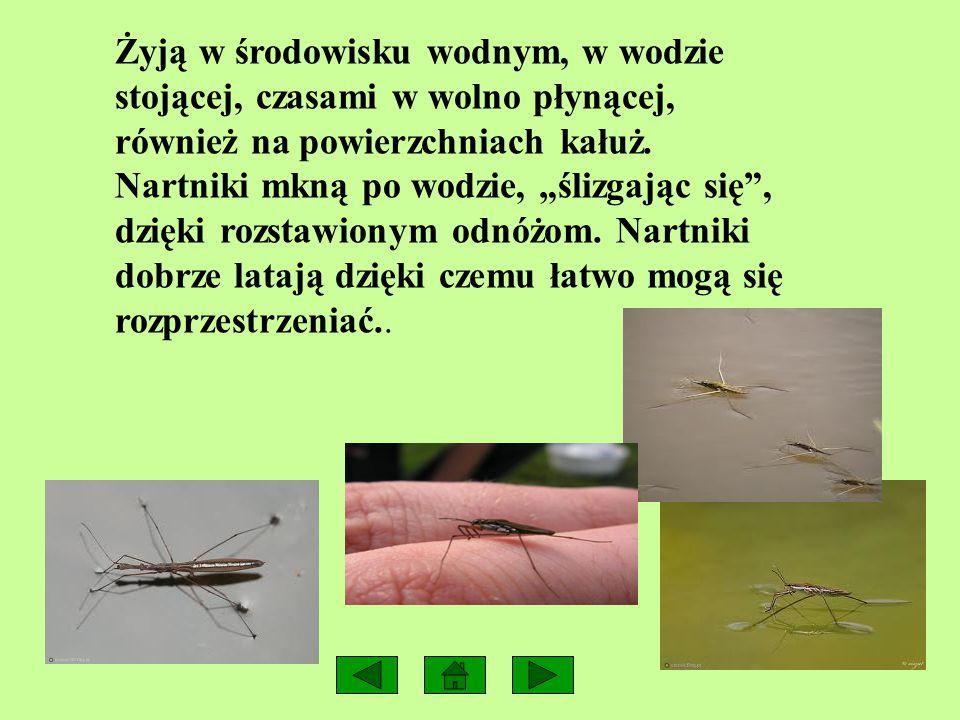 NARTNIK Nartnik wodny to ciemny owad, o wydłużonym ciele o długości 10 – 15 mm z bardzo długimi odnóżami.