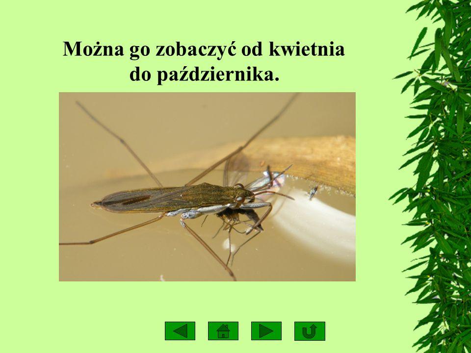 POŻYWIENIE Odżywiają się owadami znalezionymi lub upolowanymi na powierzchni wody.