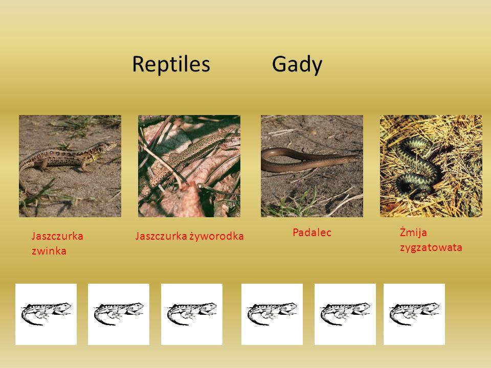 Reptiles Gady Jaszczurka zwinka Jaszczurka żyworodka PadalecŻmija zygzatowata