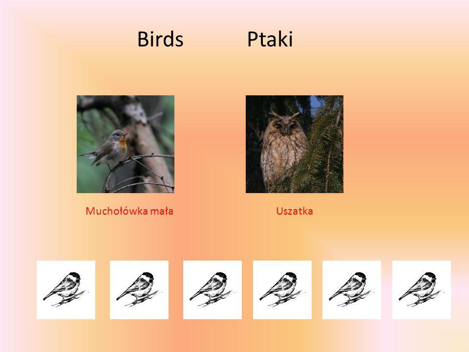 BirdsPtaki UszatkaMuchołówka mała