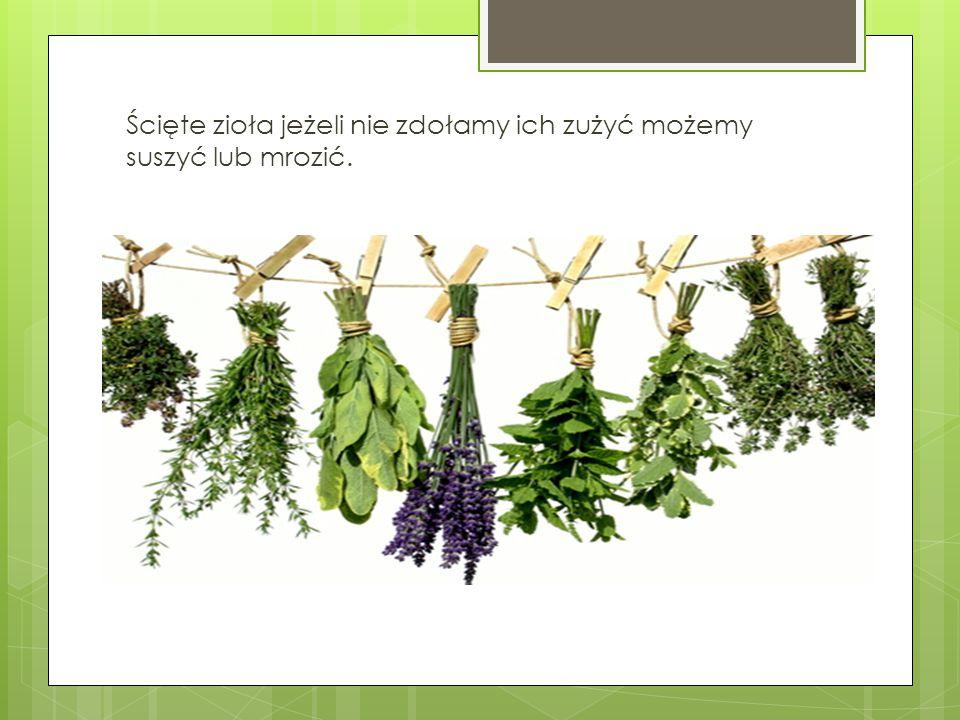 Ścięte zioła jeżeli nie zdołamy ich zużyć możemy suszyć lub mrozić.