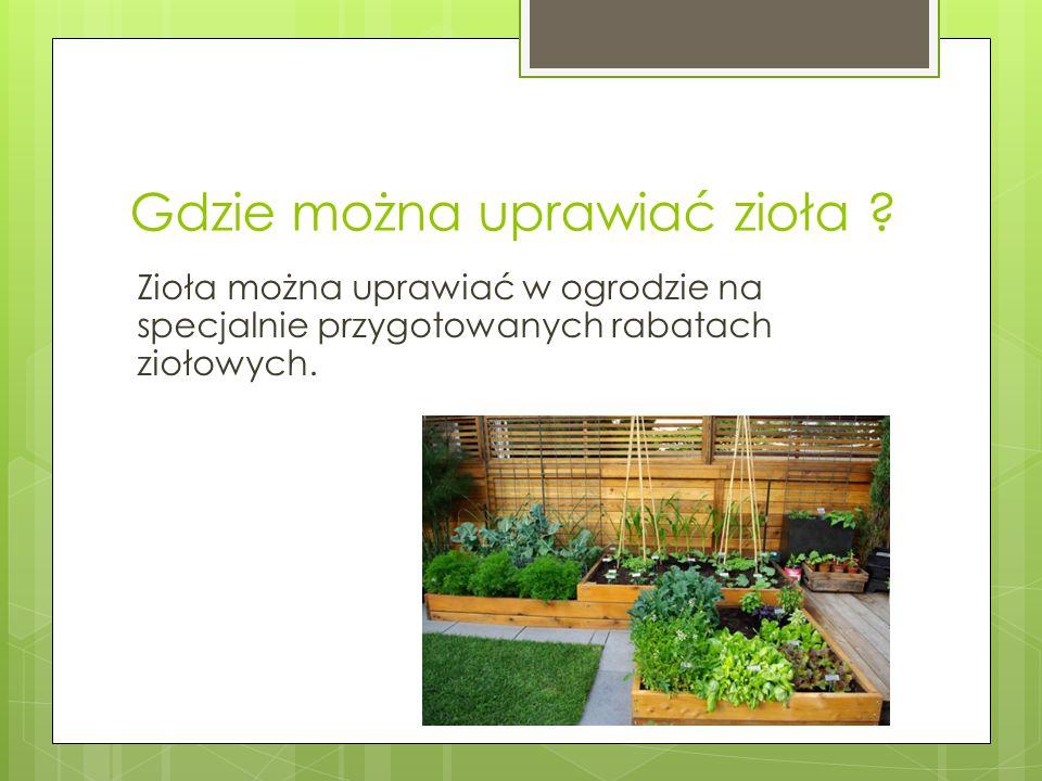 Gdzie można uprawiać zioła ? Zioła można uprawiać w ogrodzie na specjalnie przygotowanych rabatach ziołowych.