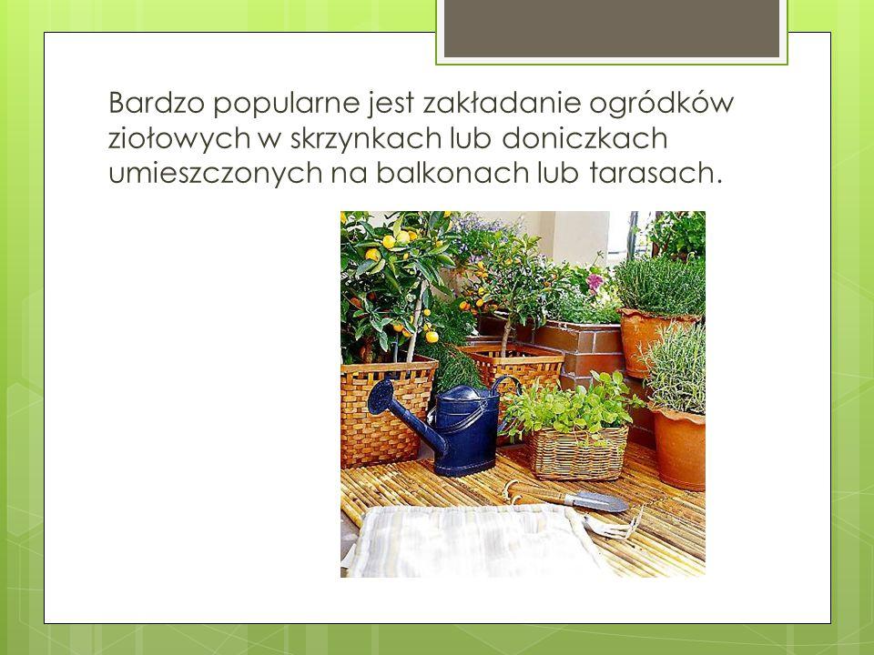 Bardzo popularne jest zakładanie ogródków ziołowych w skrzynkach lub doniczkach umieszczonych na balkonach lub tarasach.