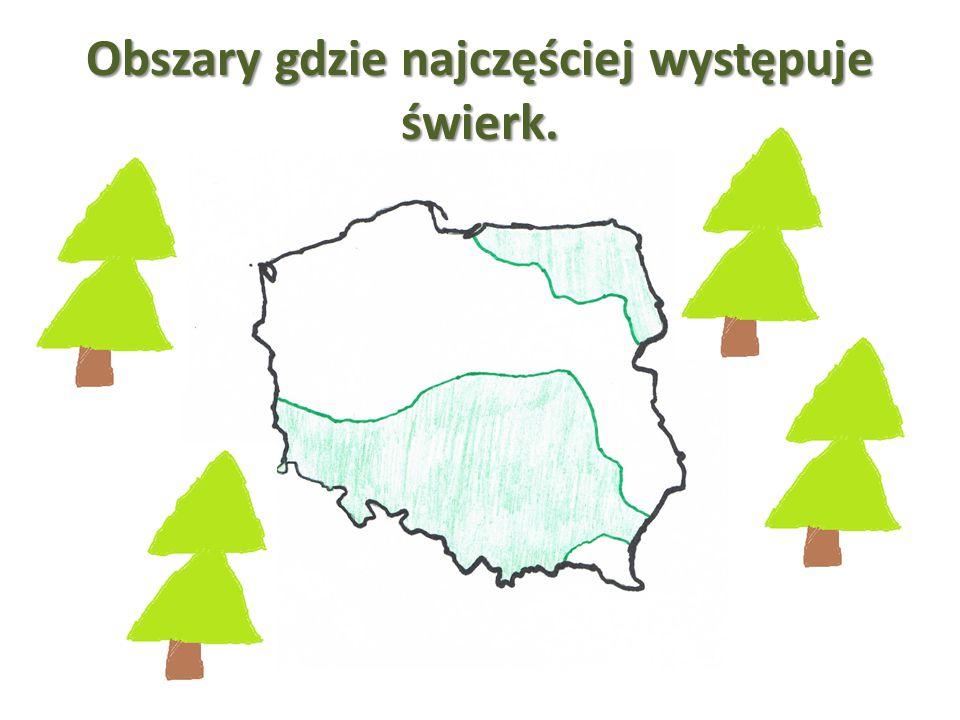 Świerki tak jak wszystkie drzewa przeprowadzają proces fotosyntezy, w którym wytwarzają tlen- gaz, który jest niezbędny do życia organizmów.