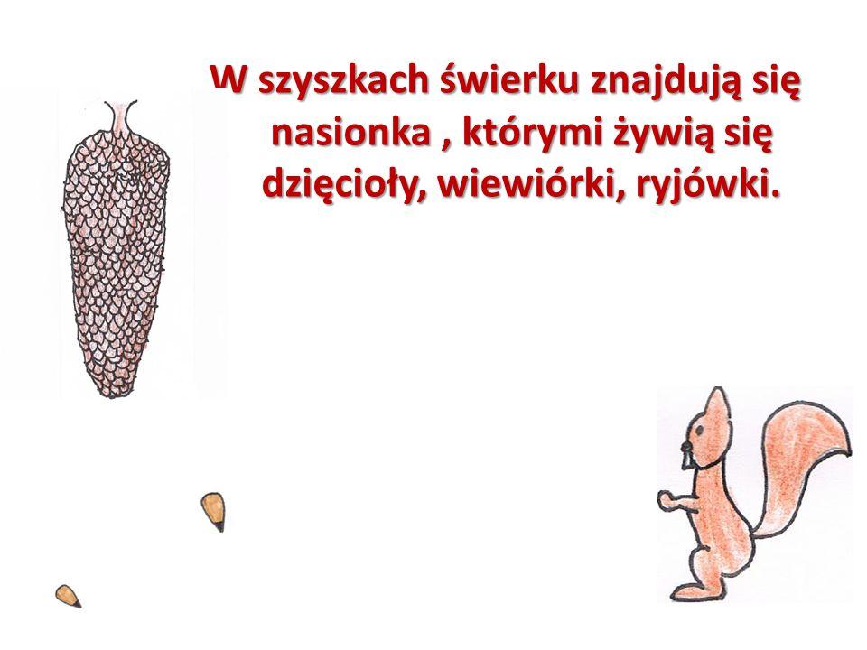W szyszkach świerku znajdują się nasionka, którymi żywią się dzięcioły, wiewiórki, ryjówki.