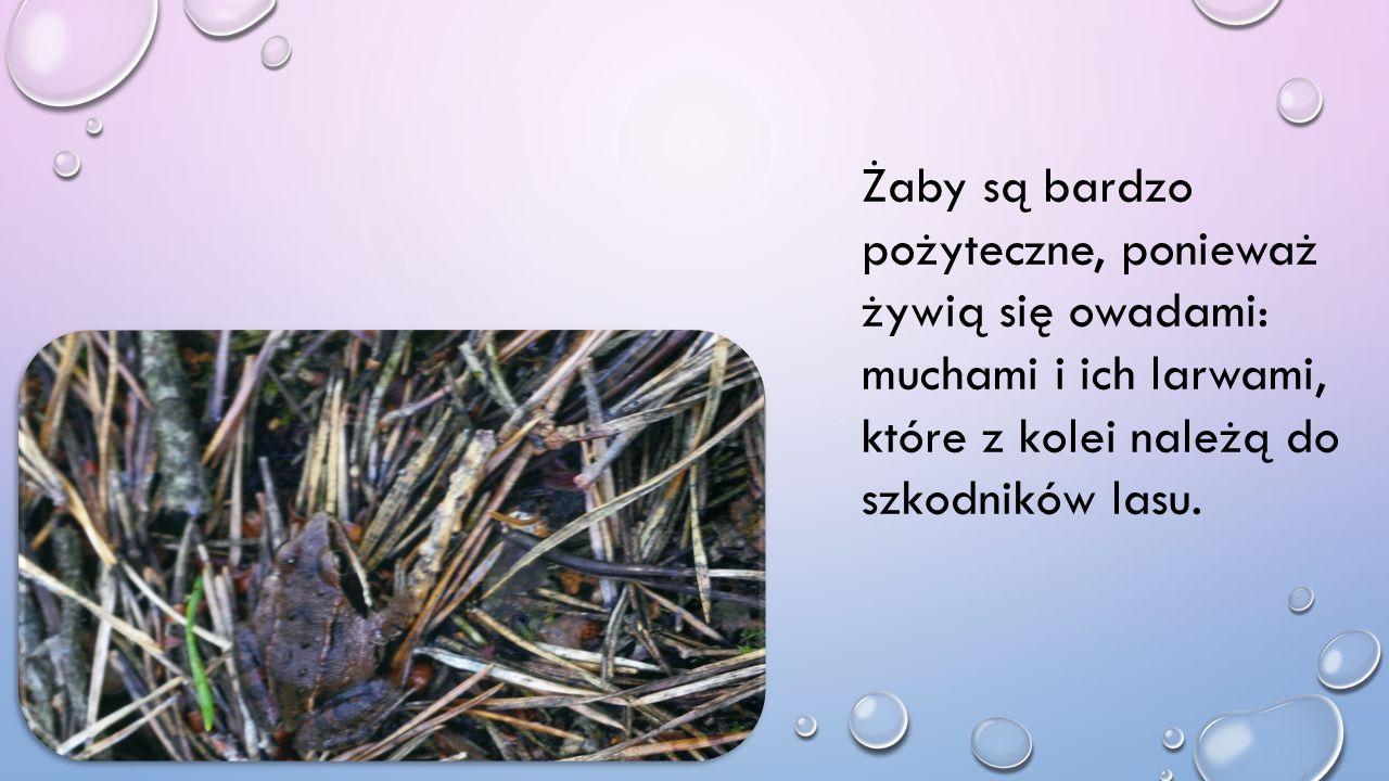 Żaby są bardzo pożyteczne, ponieważ żywią się owadami: muchami i ich larwami, które z kolei należą do szkodników lasu.