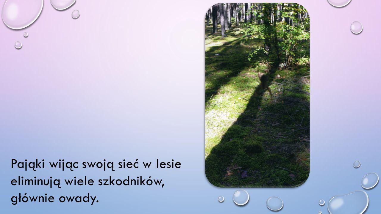 Pająki wijąc swoją sieć w lesie eliminują wiele szkodników, głównie owady.