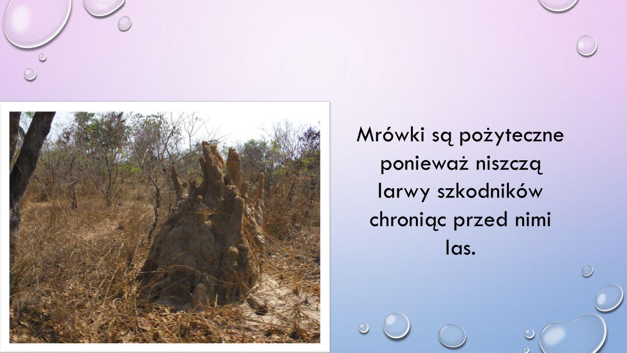 Mrówki są pożyteczne ponieważ niszczą larwy szkodników chroniąc przed nimi las.