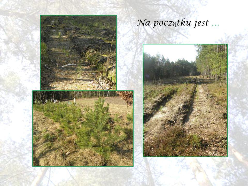 Gdy drzewa troch ę podrosn ą, trzeba wykona ć zabiegi piel ę gnacyjne, aby w przysz ł o ś ci drzewa by ł y okaza ł e.