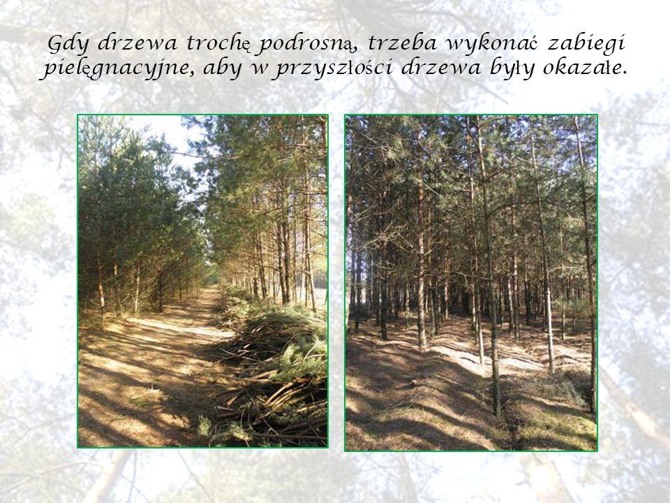 W naszych lasach najwi ę cej ro ś nie sosen, ale mo ż na równie ż spotka ć d ę by