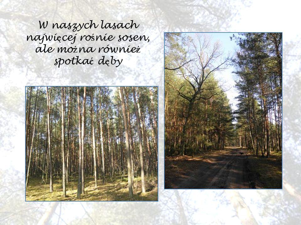 Ś cie ż ki le ś ne s ą odpowiednim miejscem na spacery i aktywne sp ę dzanie czasu wolnego