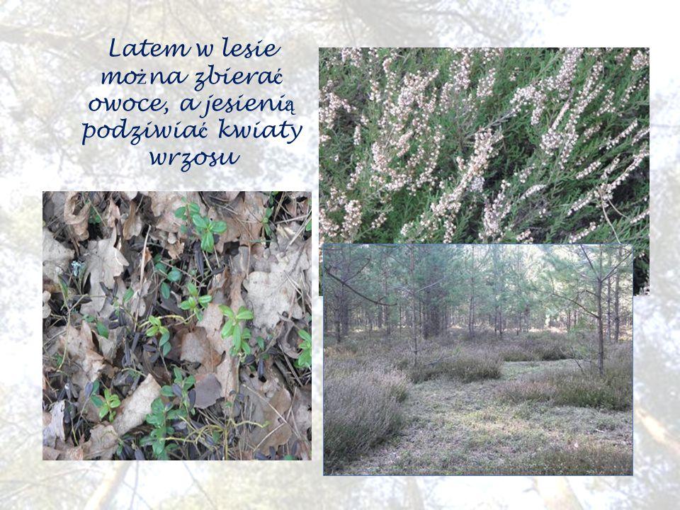 Latem w lesie mo ż na zbiera ć owoce, a jesieni ą podziwia ć kwiaty wrzosu