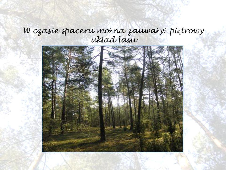W czasie spaceru mo ż na zauwa ż y ć pi ę trowy uk ł ad lasu