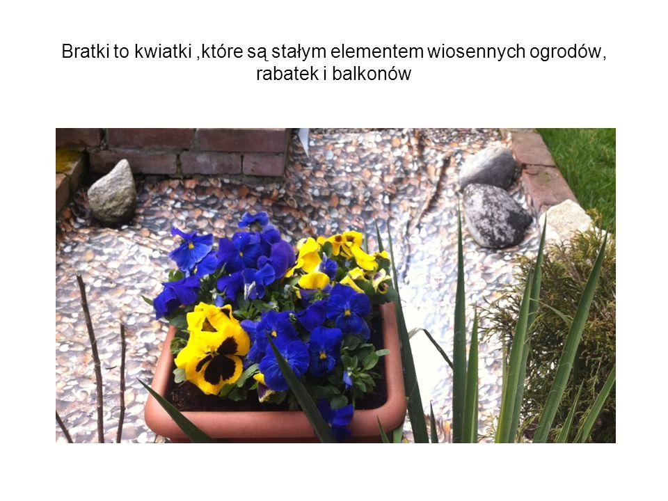Bratki to kwiatki,które są stałym elementem wiosennych ogrodów, rabatek i balkonów