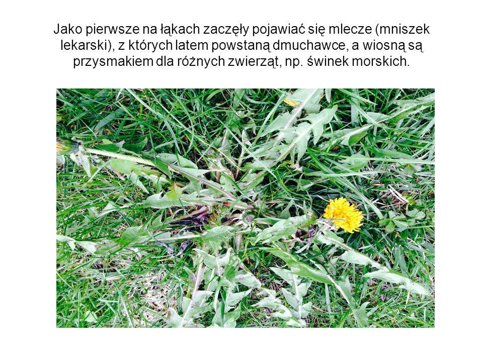 Jako pierwsze na łąkach zaczęły pojawiać się mlecze (mniszek lekarski), z których latem powstaną dmuchawce, a wiosną są przysmakiem dla różnych zwierz