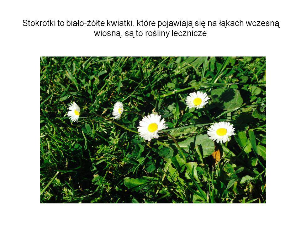 Stokrotki to biało-żółte kwiatki, które pojawiają się na łąkach wczesną wiosną, są to rośliny lecznicze